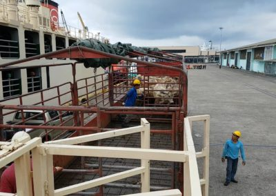 ppes cattle arrive