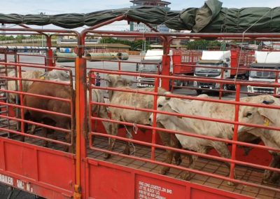 ppes cattle arrive3